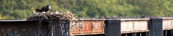 Osprey nest on a train bridge