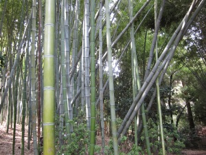 cropped bamboo 1